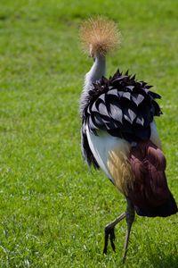 Crowned Crane - Mollie Backode