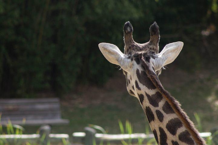 Giraffe - Mollie Backode