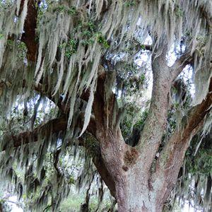 Silver haired oak