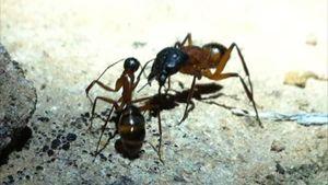 Communicating ants - B-rain