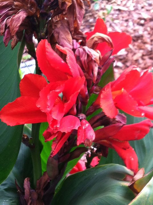 Red Canna Flowers - Israel Torres Art