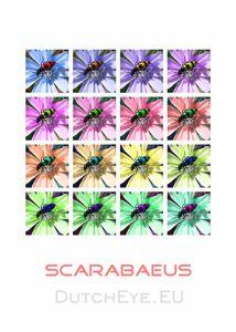 Scarabaeus-W