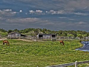 Ponies of Ocracoke