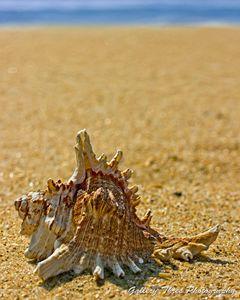 Sea Shell By The Sea Shore