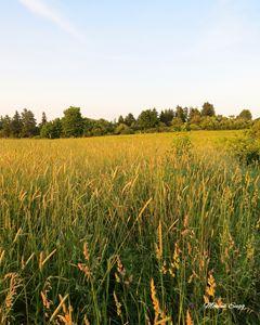 Golden Hay Field