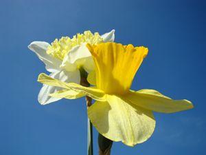 Spring Daffodils Flowers Art Prints