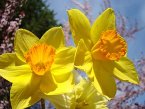 Orange Yellow Daffodils Flowers art