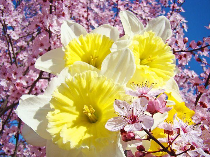 Daffodils Flowers Pink Blossoms Art - ArtPrintsGifts