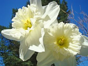 White Daffodil Flowers Spring prints
