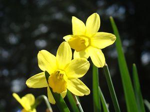 Sunlit Daffodil Flowers Art Prints