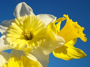 Daffodil Flowers Art Prints Spring