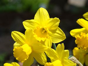 Sunny Yellow Daffodils Floral Art