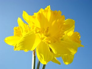 Daffodil Bouquet Floral Spring Art