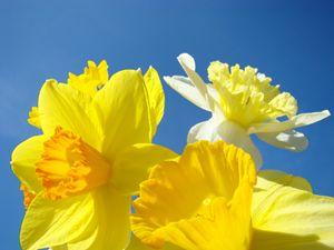 Yellow Daffodils Flowers Art Spring