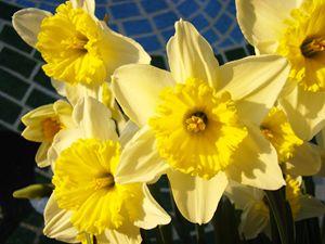 Yellow Daffodil Floral Art Prints