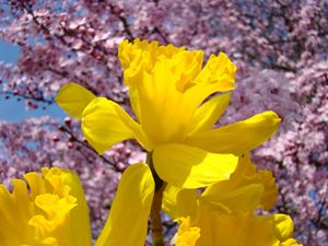 Golden Glowing Sunlit Daffodils art