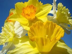 Daffodils Bouquet Floral Art Prints