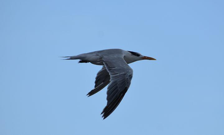 Beach bird - Hilary Davis Photography