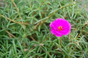 Pink Little Flower