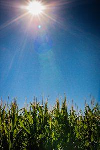 In the Corn Field