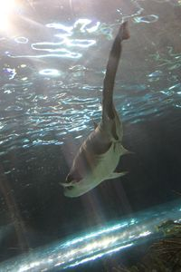 Swimming Shark 2
