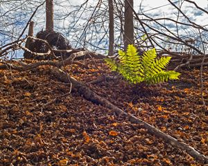 Ferns in Fall