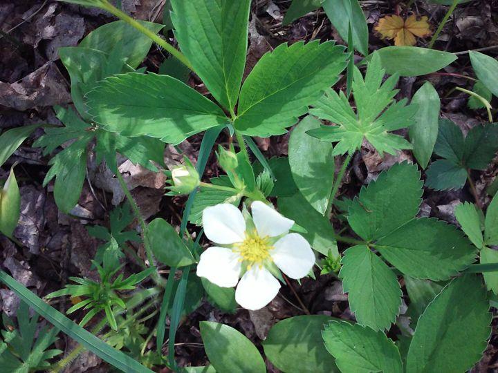 Strawberry blossom - veeralinndot
