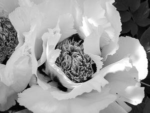 Filled tulip