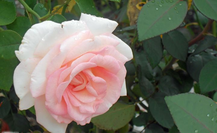 Flower 60 - Pepsiart