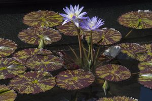 Variegated Water Lily