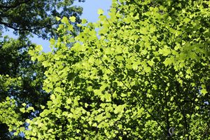Tulip Poplar in Sunlight