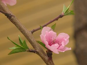 Cherry blossom - 2