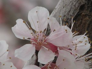 Cherry blossom  - 1