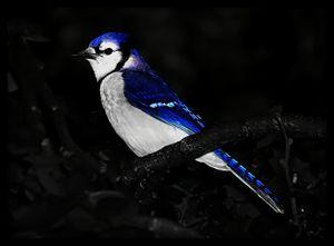 Blue Jay Portrait - D. van Doorn