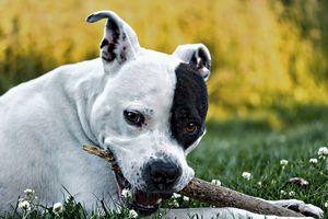 American Staffordshire Terrier - D. van Doorn