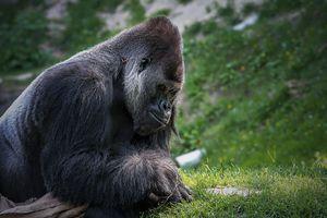 Gorilla - D. van Doorn