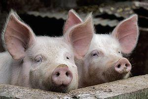 Pig Portrait - D. van Doorn