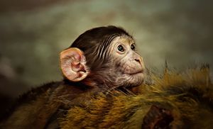 Baby Monkey - D. van Doorn