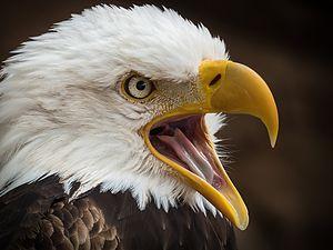 Alder Eagle