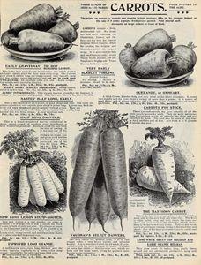 Vintage Carrots