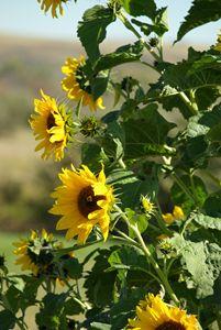 Sunflower Bee
