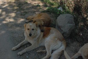 Doggy Friends in Dharamshala - Hellz