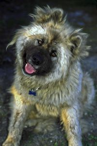Japanese Akita - Sally Weigand Images