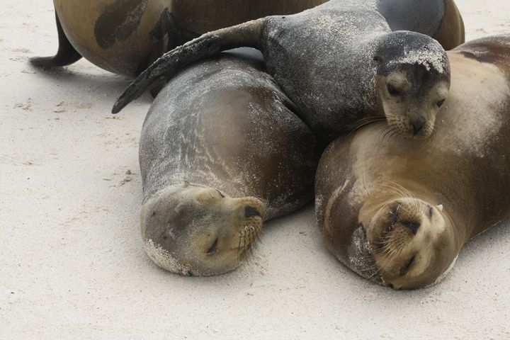 Three Sea Lions - Sally Weigand Images