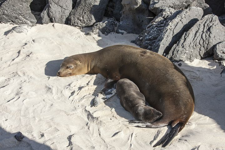 Galapagos Sea Lions - Sally Weigand Images