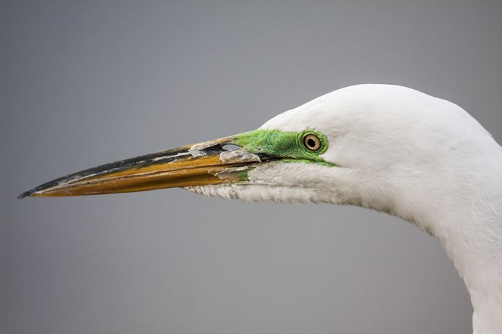 Great Egret Head Portrait - Sally Weigand Images