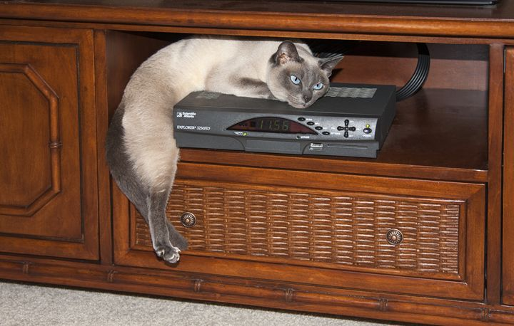 Tonkinese Cat Lounging - Sally Weigand Images