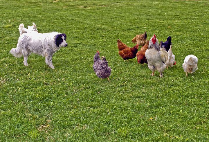 Border Collie Herding Chickens - Sally Weigand Images