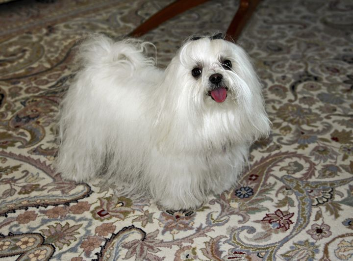 Maltese Dog - Sally Weigand Images