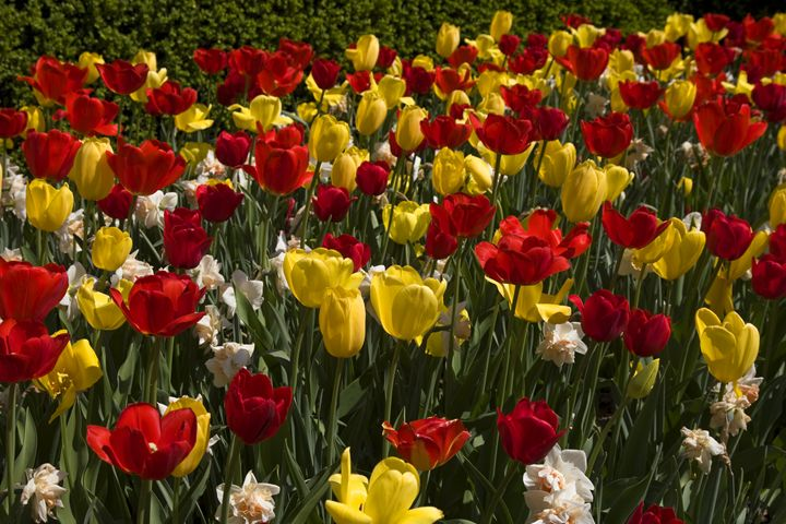 Red & Yellow Tulips - Sally Weigand Images
